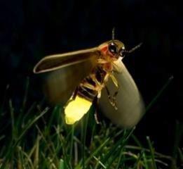 Notti d'estate nella natura in cerca dilucciole